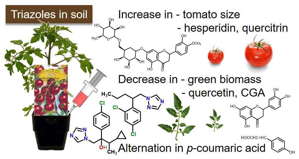The influences of triazole fungicides in soil on tomato plants